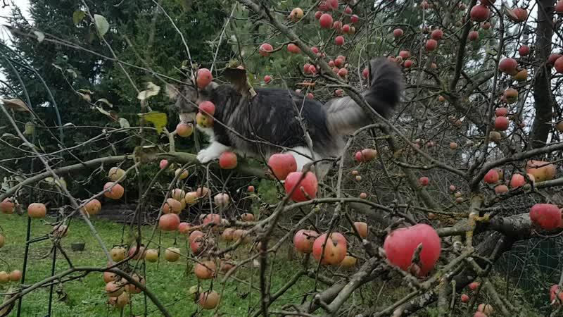 Рысь на яблоне ❣Питомник Норвежской лесной кошки Wes Bure*RU 🍀🍀🍀 СПб https://vk.com/wesbure