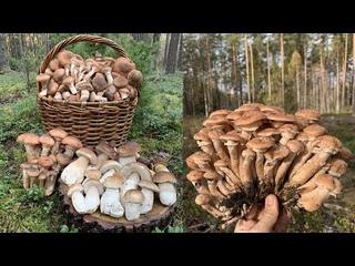 Сбор ГРОМАДНЫХ опят и белых грибов в конце октября!!! Беларусь!!!