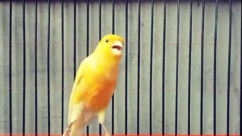 Suara pancingan kenari untuk merangsang bunyi agar cepat gacor