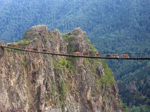 наши коровы смелее многих туристов! мост через катунь в долину реки сумульта.