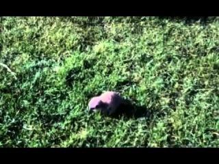 Kimi the Chihuahua is mum to baby meerkat Wilson