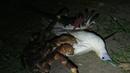 Coconut crab attacks bird