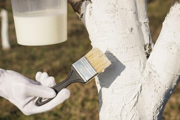 Когда правильно белить плодовые деревья  осенью или весной