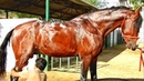 PAARTH Marwari Stallion having Bath    Herbal Shampoo    GANDHI STUD FARM