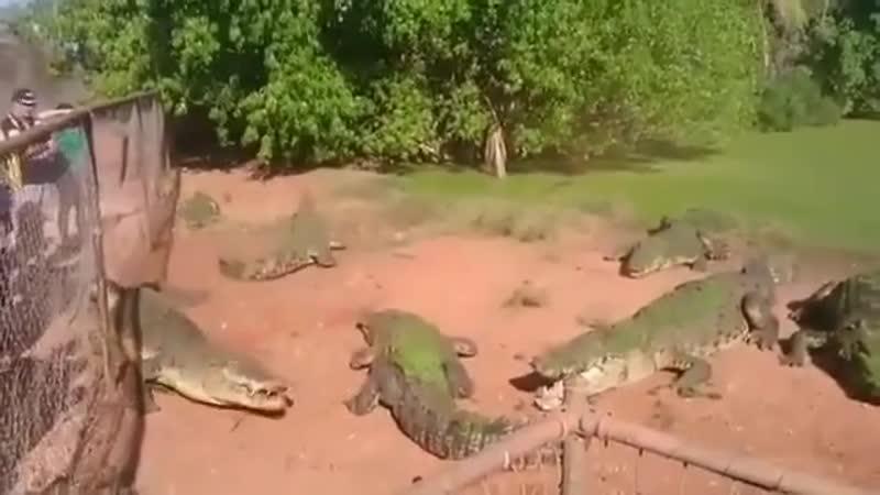 кормление аллигаторов одному не повезло