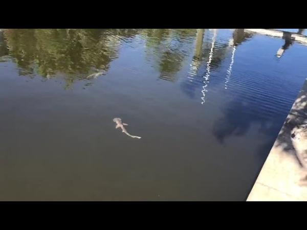 Во Флориду приплыли сотни акул чтобы спастись от водорослей