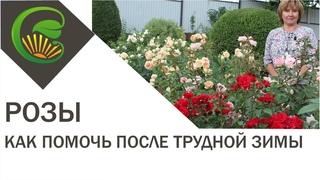Розы -  как помочь после трудной зимы