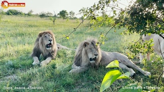 Львицы ждут рыцарей, а рыцари в кустах 😁 Тайган. Lions life in Taigan.