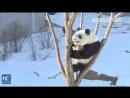 Вот чем занимаются зимой настоящие кунг-фу панды