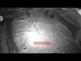 В селе Пажга (Коми) трое волков загрызли привязанного пса по кличке Мишка
