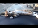 Cat Chilling Out On Car Dashboard
