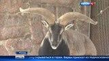 Вести-Москва В Московском зоопарке впервые можно увидеть голубого барана