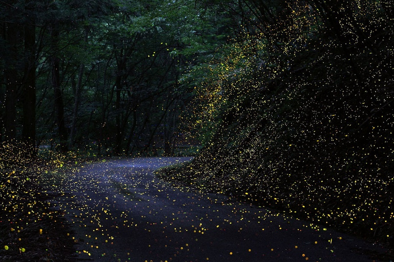 Каждый год в Японии в сезон дождей (июнь‑июль) можно наблюдать прекрасное явление. Некоторые леса на два месяца превращаются в сказочные джунгли из фантастического мира «Аватара». Крохотные светлячки освещают леса зелеными, желтыми и красными огоньками. Это брачный период, и, повинуясь инстинкту, самцы собираются в группы, создавая при этом причудливые рисунки высокой световой интенсивности — своеобразные маяки для самок. Где искать: в лесах Нагоя, Манивы, префектурах Айти, Оита и Окаяма.