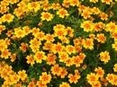 Бархатцы или махровое чудо у Вас в саду