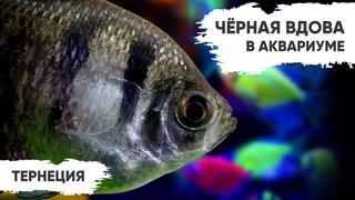 Чёрная вдова в аквариуме – Тернеции. Разновидности и их содержание