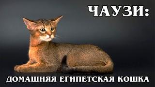 ЧАУЗИ (ХАУСИ): Домашняя камышовая рысь из Египта   Интересные факты про породы кошек и животных
