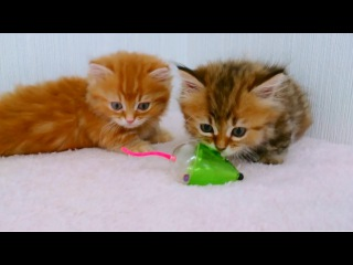 Two Fluffy Kittens Playing With Toy Mouse - THE CUTEST KITTENS EVER