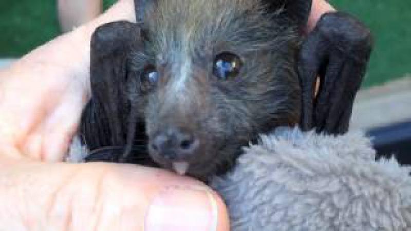 Very cute orphan flying fox bat