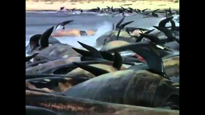 Стая белых акул атаковала стадо дельфинов гринд (короткоплавниковых гринд) к востоку от Новой Зеландии