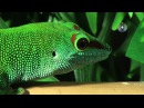 Madagaskar Taggecko Kurzfilm