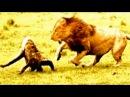 лев против гиены _ извечные враги _ Документальный Фильм National Geographic