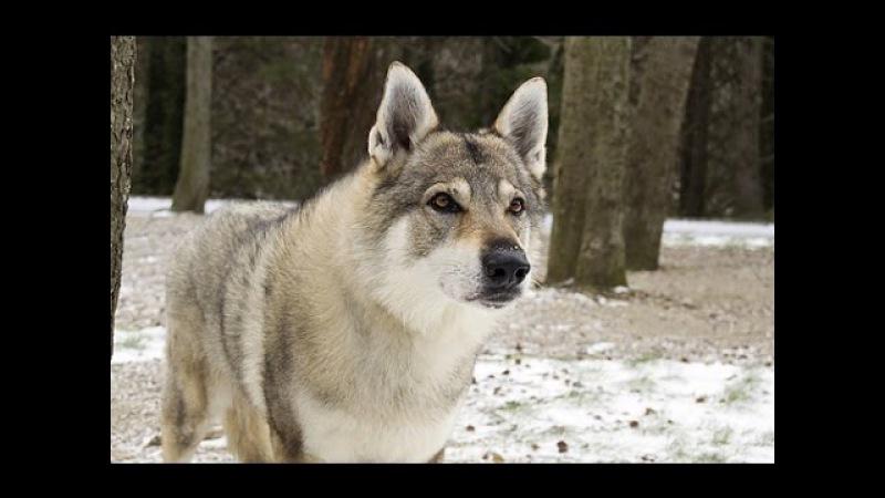 Глазами животных - Чехословацкий влчак