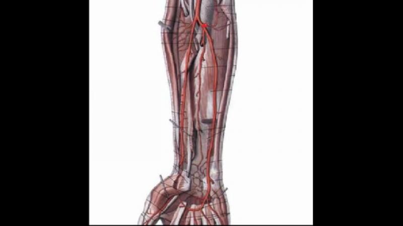 Локтевая артерия