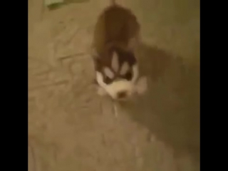 Speaking dog say fuck thug life animals.720