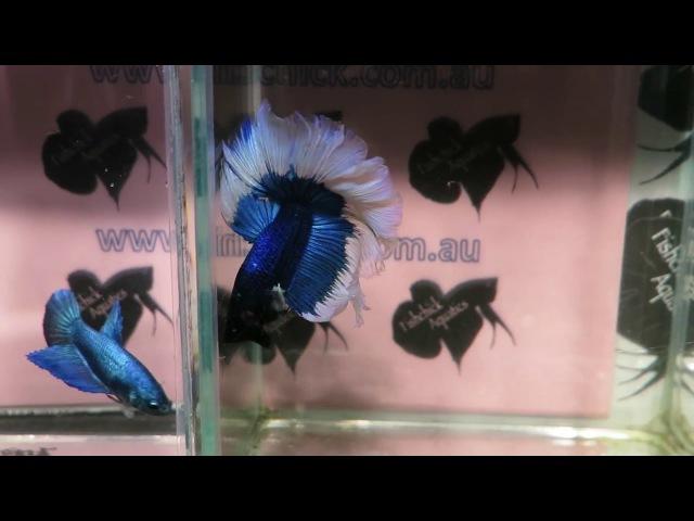 Fishchick Auctions Blue Clipper Halfmoon Butterfly Betta Pair (newlisting)