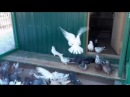 Николаевские торцовые голуби на севере