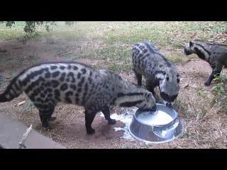 African Civet Cats Banquet