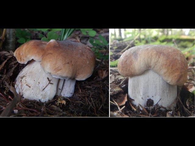 Белые грибы в жару 35 грибное безумие август
