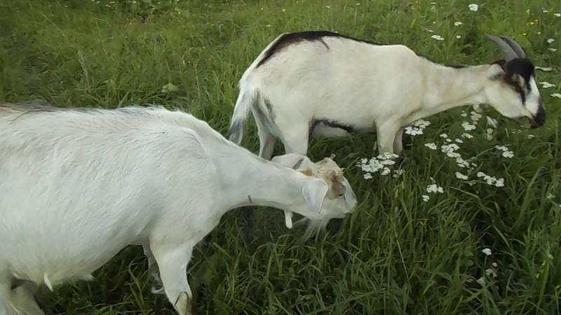 Треня на Шилеге с мужем сыном а также с природой козой хрюшкой и козлом