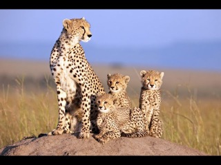 African cats 2017 nature documentary film by Disneynature