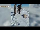 В Казахстане волк притворился мёртвым и отомстил охотнику