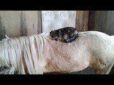 Cat Rolls Around on Top of Pony - 987752