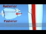 Lauge Hansen PER Pronation External Rotation (Eversion) Ankle Fracture