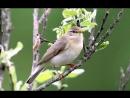 Голоса птиц - Пеночка-весничка (Phylloscopus trochilus).mp4