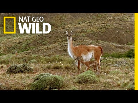 Frolicking Baby Guanacos | Extreme Survivors