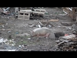 Свинарник в центре Киева ЕвроМайдан.mp4