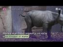 Детеныш черного носорога появился на свет в Британии
