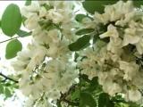 ВАЛЕРИЙ АГАФОНОВ - Белой акации гроздья душистые