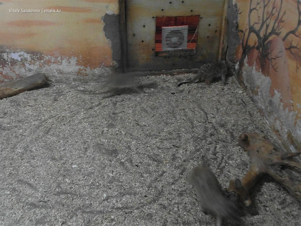 Сурикаты в террариуме, зоопарк Алматы 2018