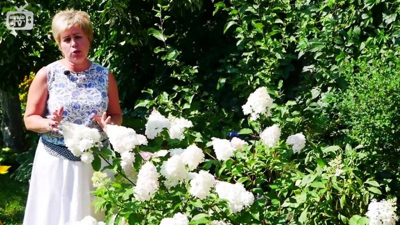 Цветы в саду Гортензия метельчатая Ванила Фрейз Обзор эксперта hitsadTV