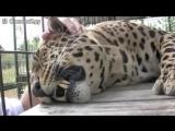 Леопард жаждет ласки