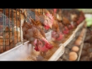 Шекснинскую птицефабрику могут отключить от газа за миллионные долги