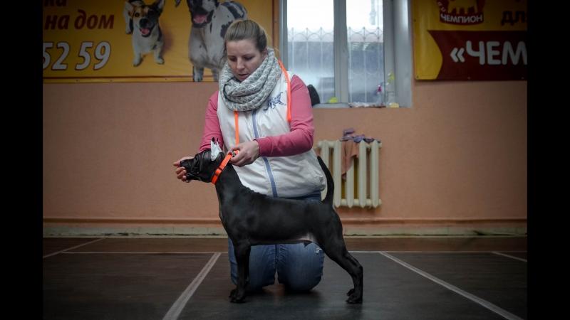 Thai Ridgeback Puppy ❤ Тайский риджбек щенок ❤ Lomion Rodon et Tar menel ❤