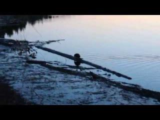 Неисправимый романтик! Андатра - водяная крыса удирает=) Рыбалка в Нягани.