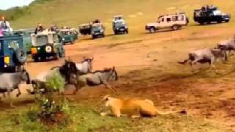 Enquanto leoa espera, Leão chega e faz o ataque