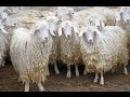 Ушной выщип для анализа ДНК у коз. Агроэкспедиция по Таджикистану
